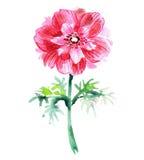 Κόκκινο anemone watercolor όμορφο λουλούδι Στοκ εικόνες με δικαίωμα ελεύθερης χρήσης