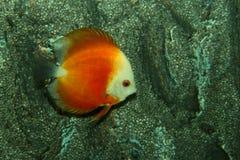 Κόκκινο angelfish Στοκ φωτογραφίες με δικαίωμα ελεύθερης χρήσης