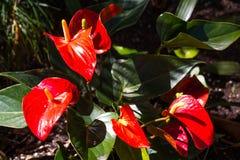 Κόκκινο Anthurium ανθίζοντας φυτό Στοκ Εικόνες