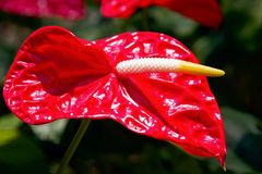 Κόκκινο Anthurium λουλουδιών φλαμίγκο κινηματογραφήσεων σε πρώτο πλάνο στον κήπο Στοκ φωτογραφία με δικαίωμα ελεύθερης χρήσης