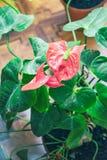 Κόκκινο anthurium λουλουδιών Στοκ εικόνα με δικαίωμα ελεύθερης χρήσης