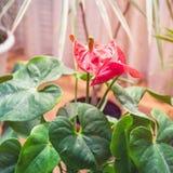 Κόκκινο anthurium λουλουδιών Στοκ Εικόνες