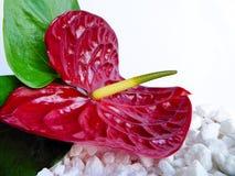 Κόκκινο Anthurium λουλούδι με τις πέτρες Στοκ εικόνα με δικαίωμα ελεύθερης χρήσης