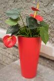Κόκκινο Anthurium λουλούδι στην οδό της Άγιος-Πετρούπολης Στοκ φωτογραφία με δικαίωμα ελεύθερης χρήσης