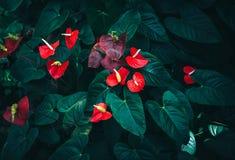 Κόκκινο Anthurium λουλούδι στο βάζο στο πράσινο υπόβαθρο Στοκ Εικόνα
