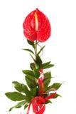 Κόκκινο anthurium λουλούδι φλαμίγκο Στοκ Εικόνα