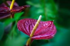 Κόκκινο Anthurium λουλούδι Στοκ εικόνα με δικαίωμα ελεύθερης χρήσης