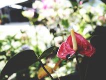 Κόκκινο Anthurium λουλουδιών φλαμίγκο στο μαύρο υπόβαθρο Στοκ εικόνες με δικαίωμα ελεύθερης χρήσης
