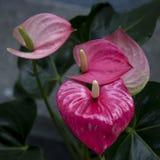 Κόκκινο Anthurium λουλουδιών φλαμίγκο Στοκ Εικόνα