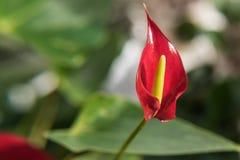 Κόκκινο anthurium λουλουδιών Στοκ Εικόνα