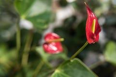 Κόκκινο anthurium λουλουδιών Στοκ Φωτογραφία