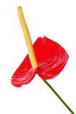 Κόκκινο anthurium λουλούδι που απομονώνεται στο άσπρο υπόβαθρο. Στοκ Εικόνες