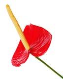 Κόκκινο anthurium λουλούδι που απομονώνεται στο άσπρο υπόβαθρο. Στοκ εικόνα με δικαίωμα ελεύθερης χρήσης