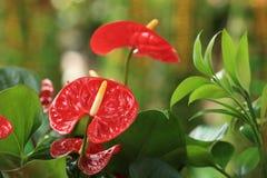 Κόκκινο Anthurium λουλούδι στο βοτανικό κήπο Στοκ Φωτογραφίες