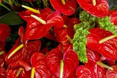 Κόκκινο Anthurium, λουλούδι φλαμίγκο Στοκ Φωτογραφίες