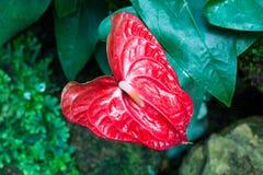 Κόκκινο anthurium λουλούδι Στοκ Φωτογραφία