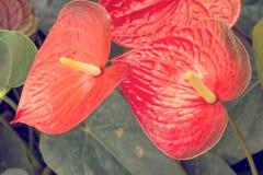 Κόκκινο Anthurium λουλούδι Στοκ Εικόνες