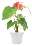 Κόκκινο Anthurium λουλούδι Στοκ φωτογραφία με δικαίωμα ελεύθερης χρήσης
