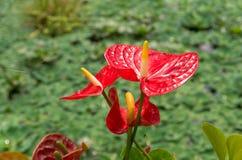 Κόκκινο Anthurium λουλούδι Στοκ εικόνες με δικαίωμα ελεύθερης χρήσης