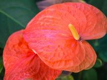 Κόκκινο Anthurium λουλούδι Στοκ Φωτογραφίες