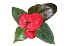 Κόκκινο Anthurium λουλούδι Στοκ Εικόνα
