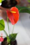 Κόκκινο anthurium που είναι γνωστό επίσης ως tailflower, λουλούδι φλαμίγκο και laceleaf Anthurium andre λουλούδι Στοκ εικόνα με δικαίωμα ελεύθερης χρήσης