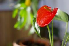 Κόκκινο anthurium που είναι γνωστό επίσης ως tailflower, λουλούδι φλαμίγκο και laceleaf Anthurium andre λουλούδι Στοκ Φωτογραφία