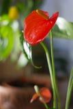 Κόκκινο anthurium που είναι γνωστό επίσης ως tailflower, λουλούδι φλαμίγκο και laceleaf Anthurium andre λουλούδι Στοκ Εικόνες