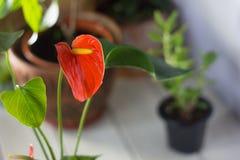 Κόκκινο anthurium που είναι γνωστό επίσης ως tailflower, λουλούδι φλαμίγκο και laceleaf Anthurium andre λουλούδι Στοκ φωτογραφία με δικαίωμα ελεύθερης χρήσης