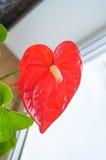 Κόκκινο anthurium που είναι γνωστό επίσης ως tailflower, λουλούδι φλαμίγκο και laceleaf Στοκ φωτογραφίες με δικαίωμα ελεύθερης χρήσης