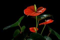 Κόκκινο Anthurium, που είναι γνωστό επίσης ως tailflower, λουλούδι φλαμίγκο και laceleaf Στοκ εικόνες με δικαίωμα ελεύθερης χρήσης