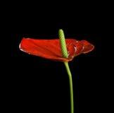 Κόκκινο Anthurium, που είναι γνωστό επίσης ως tailflower, λουλούδι φλαμίγκο και laceleaf Στοκ Εικόνα