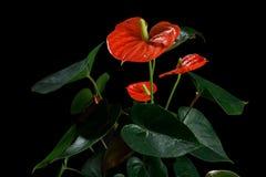 Κόκκινο Anthurium, που είναι γνωστό επίσης ως tailflower, λουλούδι φλαμίγκο και laceleaf Στοκ φωτογραφίες με δικαίωμα ελεύθερης χρήσης