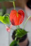 Κόκκινο anthurium που είναι γνωστό ως tailflower, λουλούδι φλαμίγκο και laceleaf Anthurium andre στο καφετί δοχείο αργίλου Στοκ Φωτογραφίες