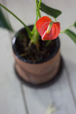 Κόκκινο anthurium που είναι γνωστό ως tailflower, λουλούδι φλαμίγκο και laceleaf Anthurium andre στο καφετί δοχείο αργίλου Στοκ εικόνες με δικαίωμα ελεύθερης χρήσης