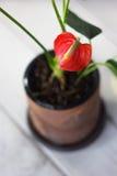 Κόκκινο anthurium που είναι γνωστό ως tailflower, λουλούδι φλαμίγκο και laceleaf Anthurium andre στο καφετί δοχείο αργίλου Στοκ φωτογραφία με δικαίωμα ελεύθερης χρήσης