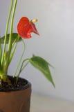 Κόκκινο anthurium που είναι γνωστό ως tailflower, λουλούδι φλαμίγκο και laceleaf Anthurium andre στο καφετί δοχείο αργίλου Στοκ Εικόνες