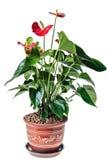 Κόκκινο anthurium σε ένα δοχείο Στοκ Φωτογραφία