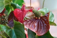 Κόκκινο anthurium στην άνθιση Στοκ φωτογραφία με δικαίωμα ελεύθερης χρήσης