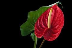 Κόκκινο Anthurium στο Μαύρο Στοκ Φωτογραφία