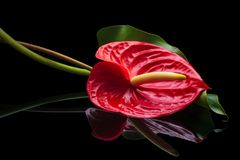 Κόκκινο Anthurium στο Μαύρο Στοκ Εικόνα