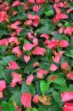 Κόκκινο Anthurium Στοκ Εικόνα