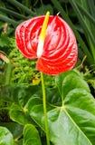 Κόκκινο Anthurium Στοκ Φωτογραφίες