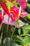 Κόκκινο Anthurium Στοκ εικόνες με δικαίωμα ελεύθερης χρήσης