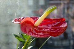 Κόκκινο anthurium andraeanum στην άνθιση Στοκ φωτογραφίες με δικαίωμα ελεύθερης χρήσης