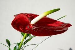Κόκκινο anthurium andraeanum στην άνθιση Στοκ φωτογραφία με δικαίωμα ελεύθερης χρήσης