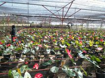 Κόκκινο anthurium andreanum Στοκ Φωτογραφίες
