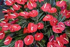 Κόκκινο anthurium laceleaf Στοκ εικόνες με δικαίωμα ελεύθερης χρήσης