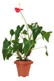 Κόκκινο anturium καφετί flowerpot που απομονώνεται στο άσπρο υπόβαθρο. Στοκ Εικόνες