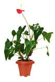 Κόκκινο anturium καφετί flowerpot που απομονώνεται στο άσπρο υπόβαθρο Στοκ φωτογραφίες με δικαίωμα ελεύθερης χρήσης